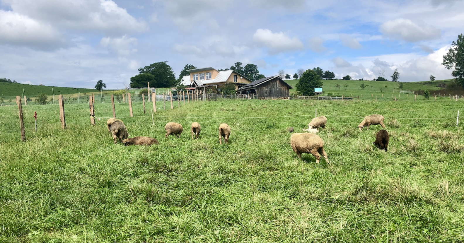 Simple Hill Farm sheep